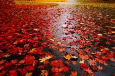 秋季红色枫叶铺地图片高清背景