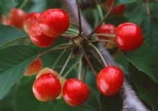 樱桃高清摄影图片图片