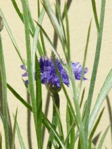 生长中的蓝色花朵