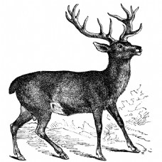素描绘画行走的鹿