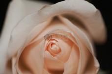 花,玫瑰,关闭,向上