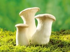 野生白蘑菇图片