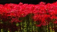 鲜艳红色彼岸花海图片