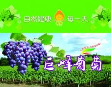 绿健巨峰葡萄正面