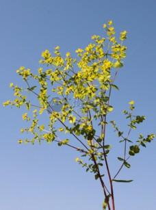 蓝天下的黄花
