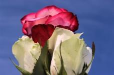 娇艳红玫瑰花图片