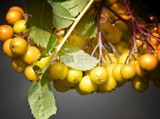 树枝上的果子
