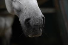 小白马的鼻孔