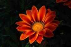 野生橙色菊花图片