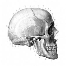 头骨侧面结构插图