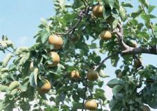 阳光下的梨树图片
