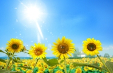 阳光下的向日葵