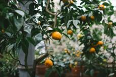 橘子 树叶