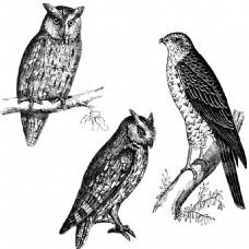 素描猫头鹰和老鹰