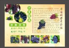 葡萄宣传单页