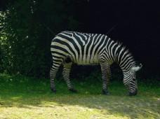 草地上的斑马