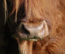 流鼻涕的苏格兰高地牛
