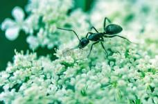 花卉,昆虫,宏,小,特写,臭虫,蚂蚁