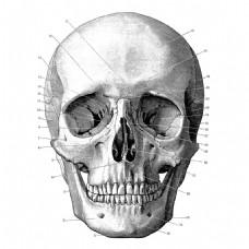 头骨正面结构插图