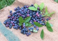 蓝莓素材图片