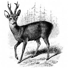 素描绘画森林中站立的鹿