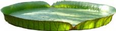 树叶 夸大树叶 泳池 绿色