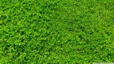 清新绿草地 绿叶四叶草背景