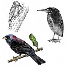 三只不同种类的鸟啄木鸟翠鸟麻雀