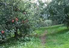 苹果园摄影图片