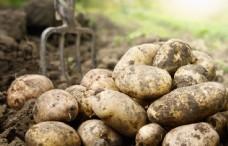 新鲜的土豆图片