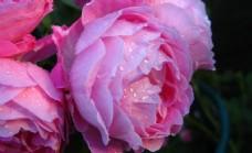 牡丹花苞图片