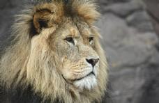 凝视的狮子